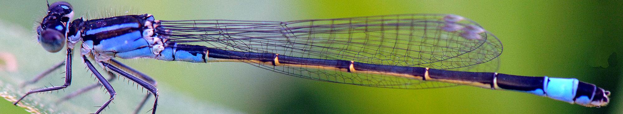 Azurjungfer Libelle